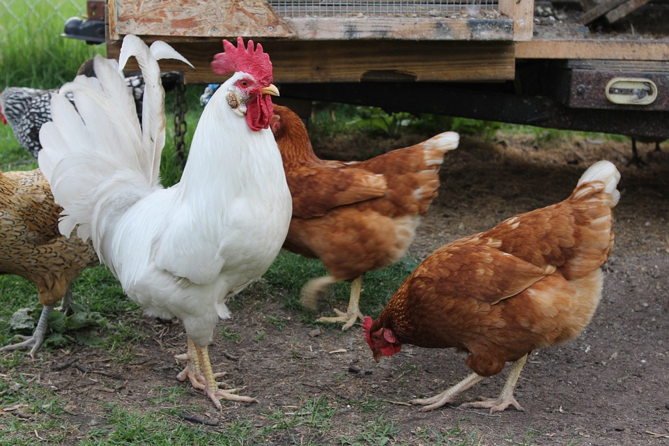 White rooster and hens